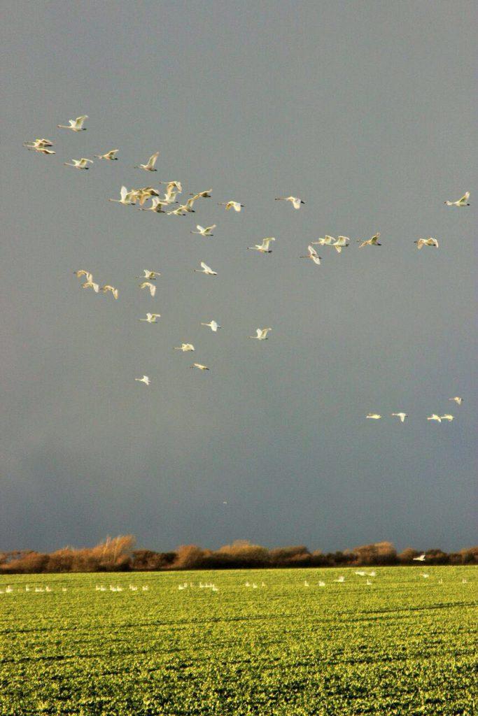 Vögel die über das geplanten Baugebiet fliegen und dort im Moment noch rasten können.